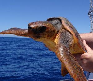 Puerto Rico Schildkröte