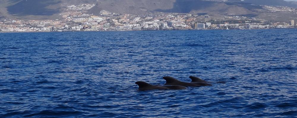 Whale Watching Puerto Colon Teneriffa Grindwale